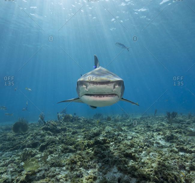 Tiger shark barreling towards the photographer