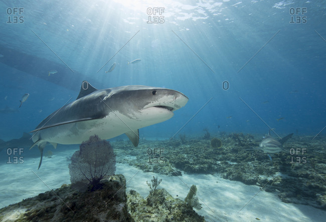 Crepuscular rays highlight the majesty of a tiger shark