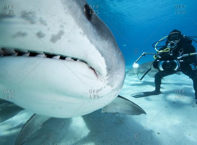 Tiger shark nudges the camera.