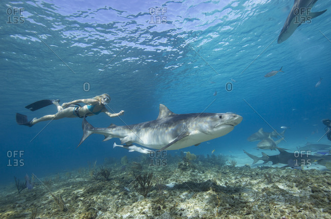 Snorkeling with a Tiger shark.