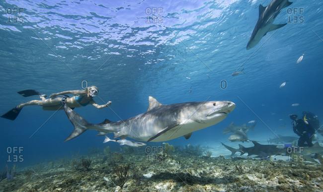 Snorkeling near Tiger shark - Offset