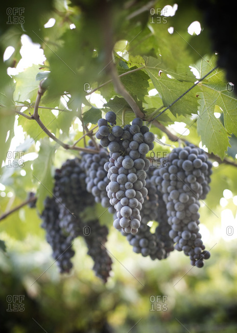 Low angle view of grapes hanging
