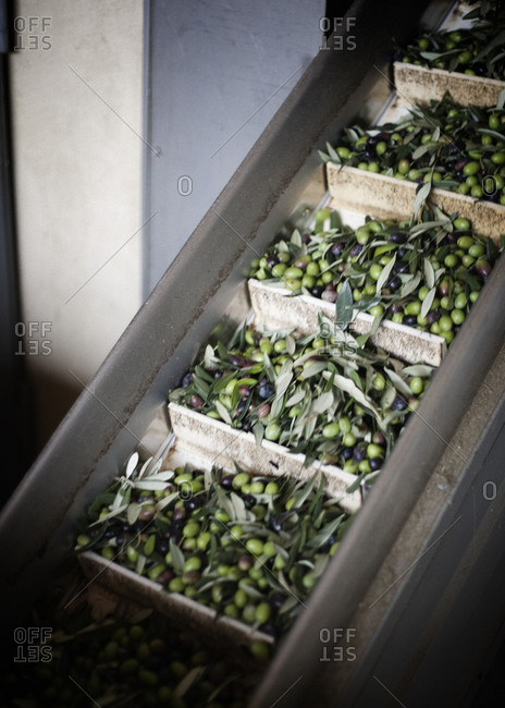 Harvested black and green olives in boxes