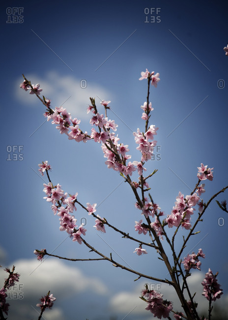 Cherry blossom branch - Offset Collection