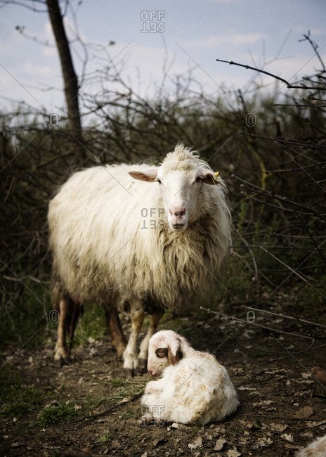 Sheep with her baby