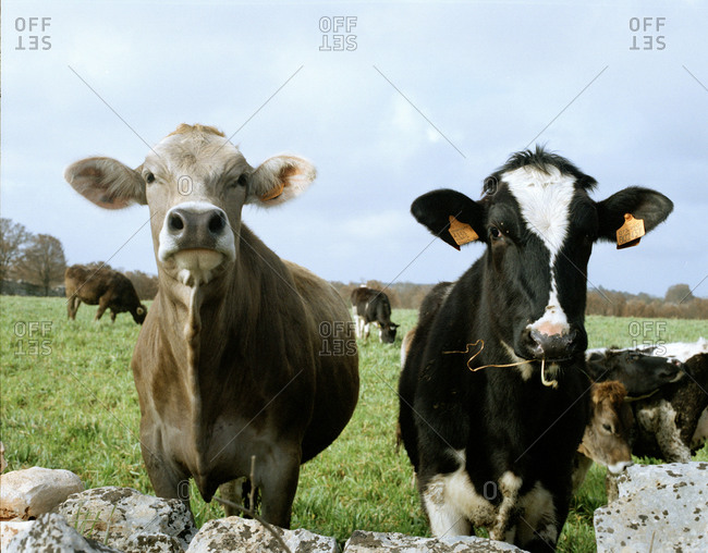Cows grazing the field