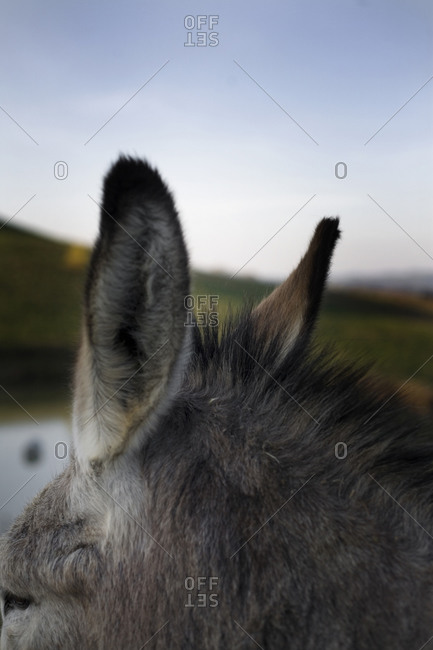 Close-up of a donkey's ears