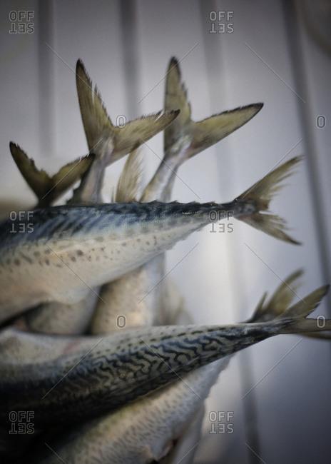 Close-up of mackerel fish
