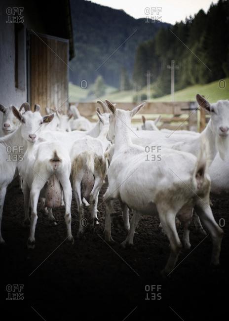 Herd of goats in the pen