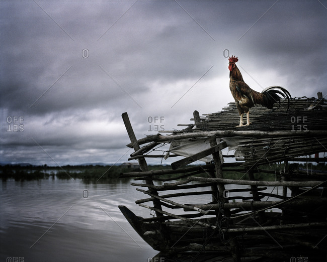 Rooster standing on wooden roof