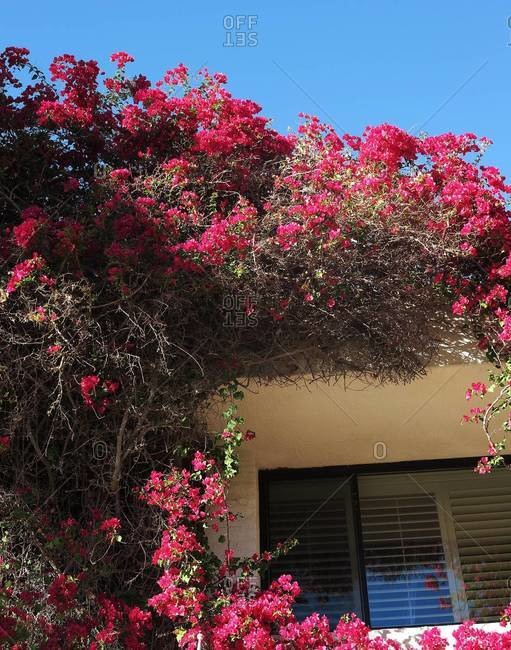 Beautiful pink creeper plant on house wall