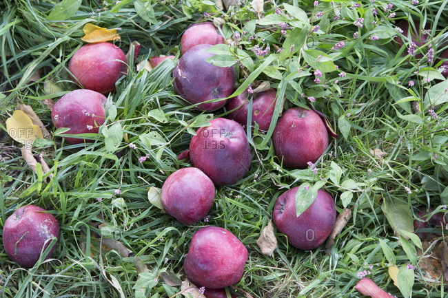 A dozen apples in the grass