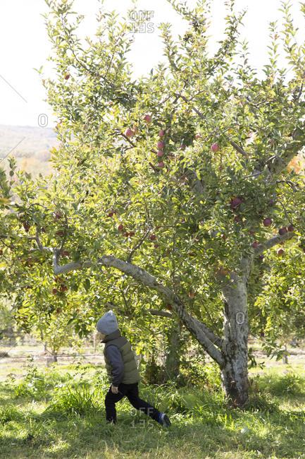 Boy wandering around an apple orchard