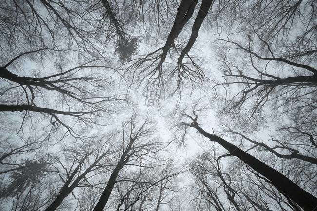 Canopy of beech forest