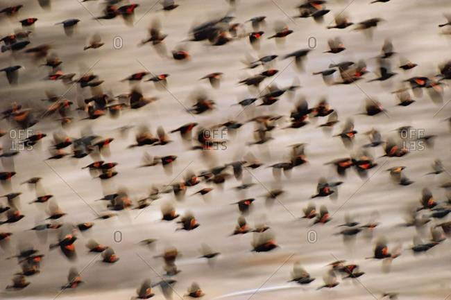 Red-winged blackbirds taking flight at Klamath Basin National Wildlife Refuge, California
