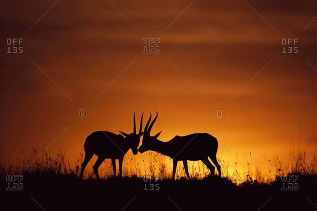Thomson's gazelles sparring at sunset in the Masai Mara Reserve, Kenya