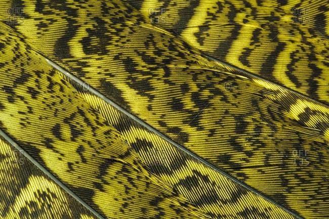 Close-up of Kakapo feathers in Codfish Island, New Zealand