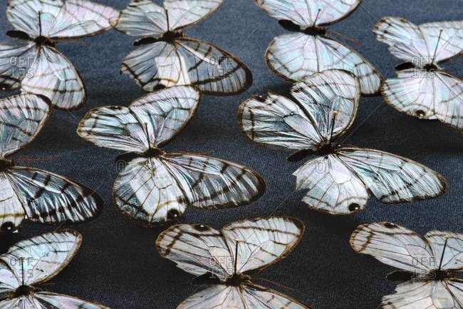 Glass wing butterflies on display at the National Institute of Biodiversity, Costa Rica