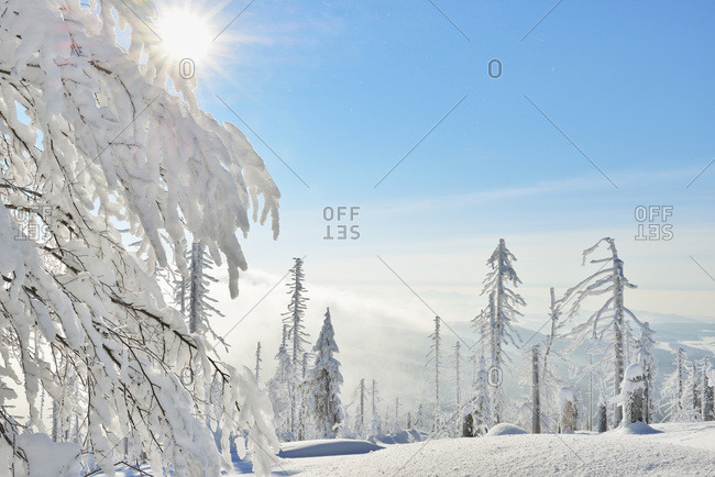 Snow Covered Conifer Forest with Sun, Winter, Grafenau, Lusen, National Park Bavarian Forest, Bavaria