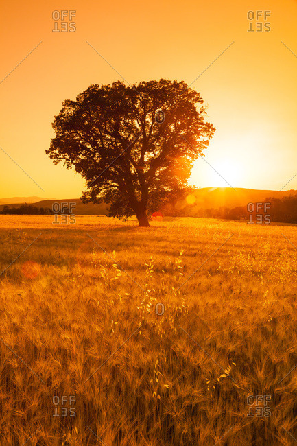 Sun Setting behind Lone Oak Tree (Quercus) in Crop Field in Summer, Tuscany, Italy