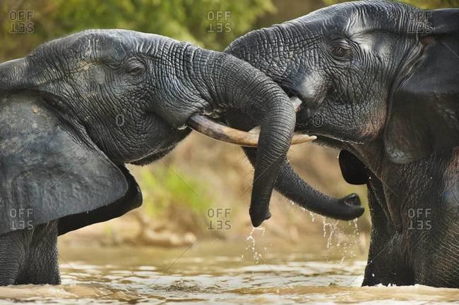 Elephant bulls aggressive confrontation in  Mole National Park, Ghana