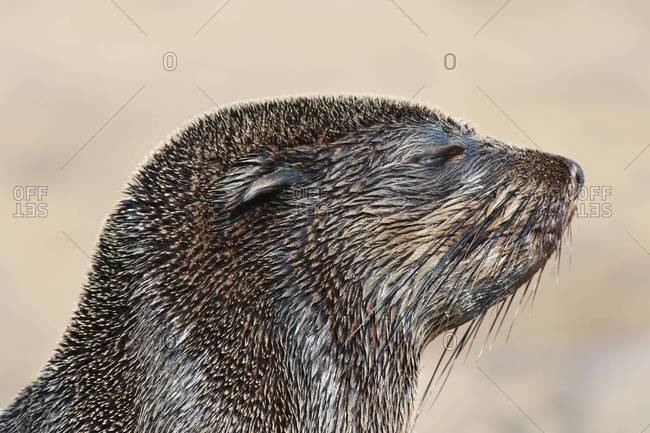 The head of cape fur seal on Cape Cross, National West Coast Recreation Area, Namibia