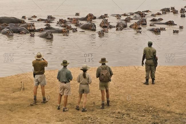 Tourists watching group of hippopotamus in the Luangwa Valley, Zambia.