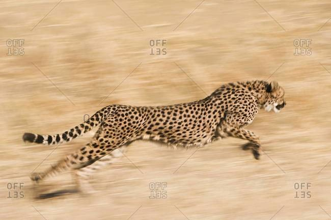 Cheetah  running across plain at the Cheetah Conservation Fund reserve in Namibia