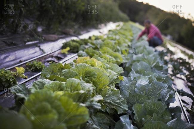 Man tending cabbage plants on farm