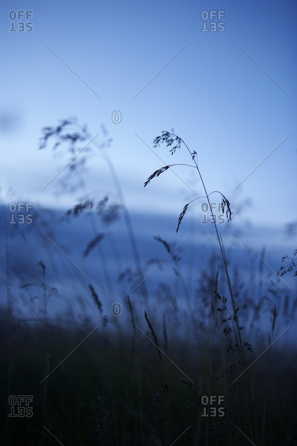 Silhouette of Long Grass at Dusk in Summer, Iceland