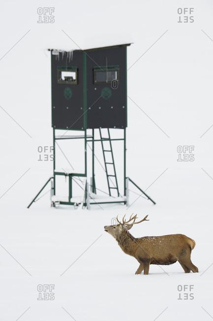 Male Red Deer (Cervus elaphus) in Winter, Hunting Blind in Background, Bavaria
