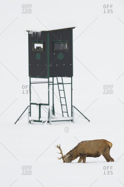 Red Deer (Cervus elaphus) Foraging in Snow in Winter, Hunting Blind in Background, Bavaria