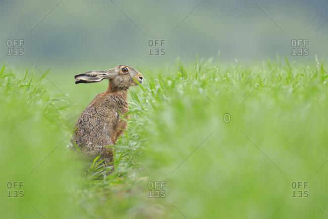European Brown Hare (Lepus europaeus) in Grain Field in Springtime, Hesse