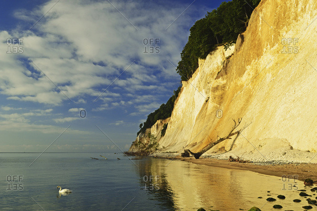 Swan at Chalk Cliffs, Jasmund National Park, Ruegen Island, Mecklenburg-Vorpommern