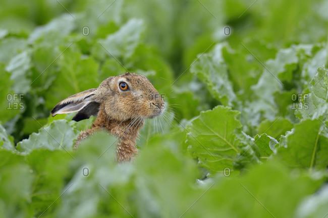 European Brown Hare (Lepus europaeus) in Sugar Beet Field, Hesse
