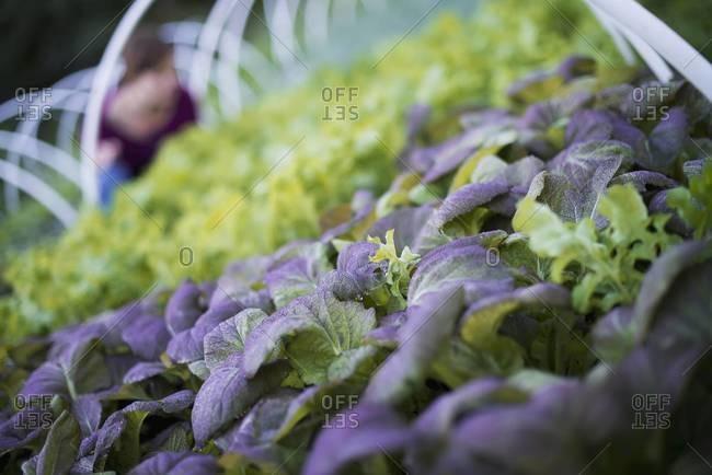Woman tending salad plants on organic farm