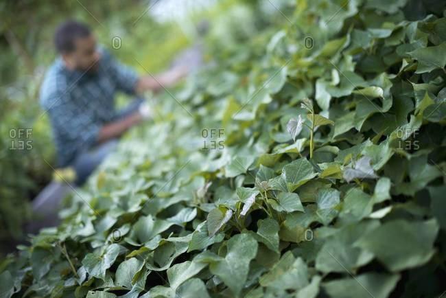 Man tending cucumber plants on farm