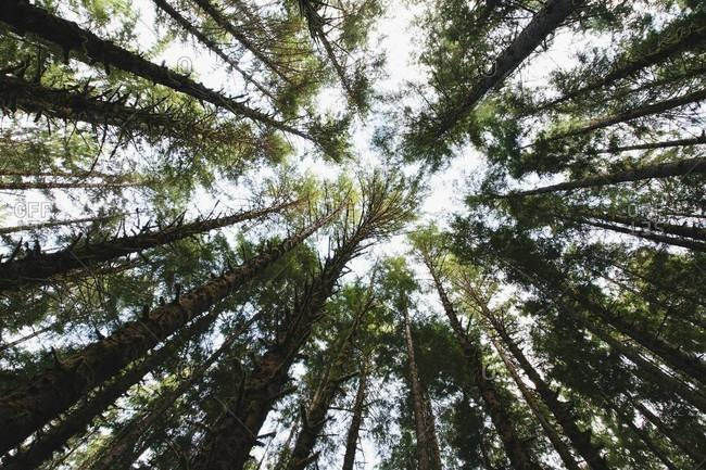 View from below of tree canopy in Hoh temperate rainforest, Washington USA