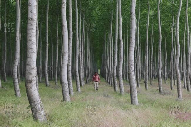 Man walking in a forest of poplar trees, Oregon, USA.
