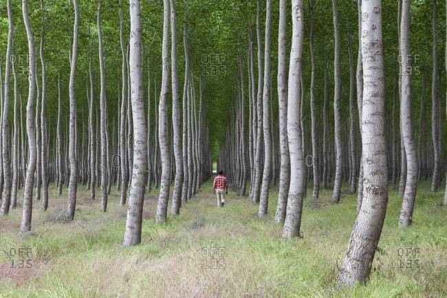 Man in a forest of poplar trees, Oregon, USA.