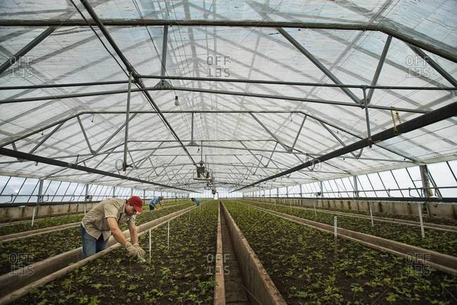 Large glasshouse full of young plants
