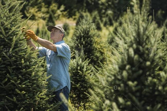 Man pruning fir trees in a plant nursery