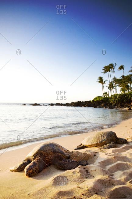 Two green sea turtles resting on sandy beach, Hawaii