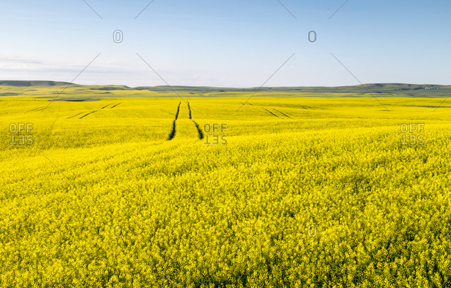 Landscape with canola field