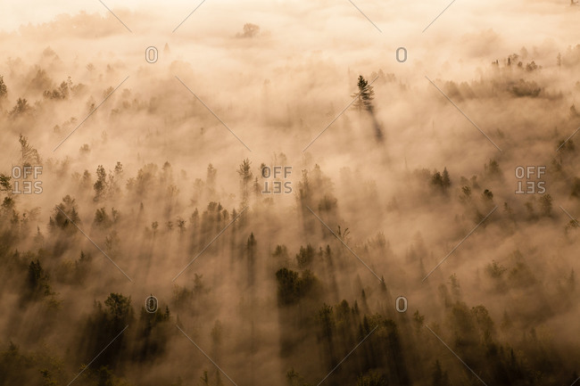 Low angle view of mysterious pine forest in fog
