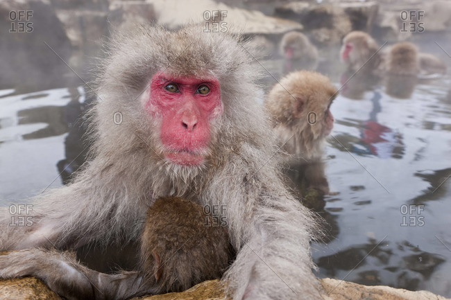 Japanese macaque (Macaca fuscata)/ Snow monkey, Joshin-etsu National Park, Honshu, Japan