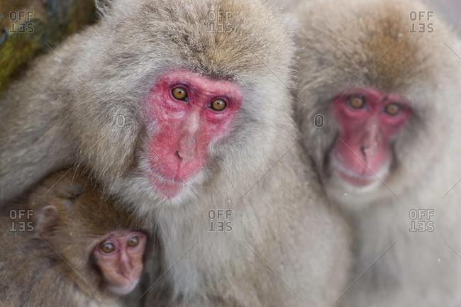 Japanese macaque (Macaca fuscata)/ Snow monkey, Joshin-etsu National Park, Honshu, Japan