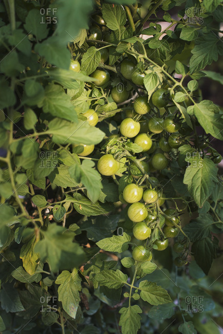 An organic farm Tomato plants bearing fruit Growing in a polytunnel