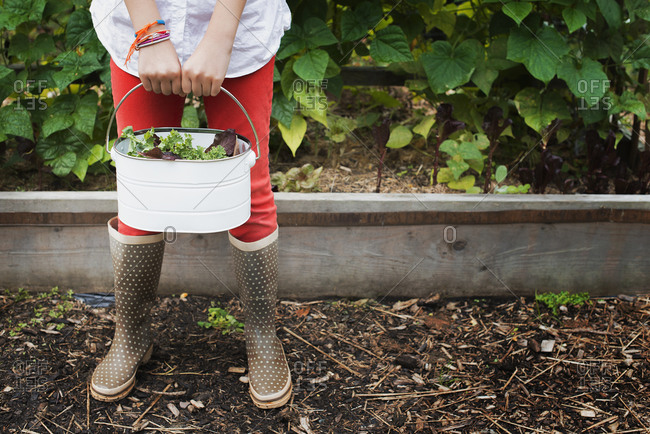 Organic Farming. A young girl carrying a pail of harvested salad leaves.
