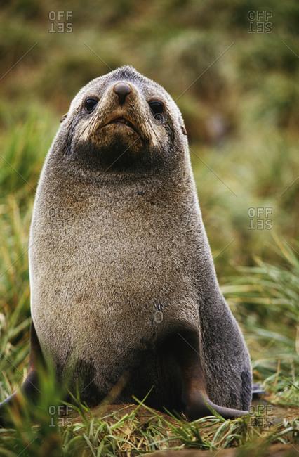 Antarctic fur seal, Arctocephalus gazella, South Georgia Island